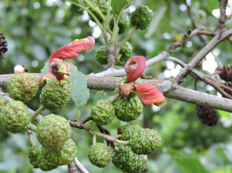 Multiple galls emerging from a cone